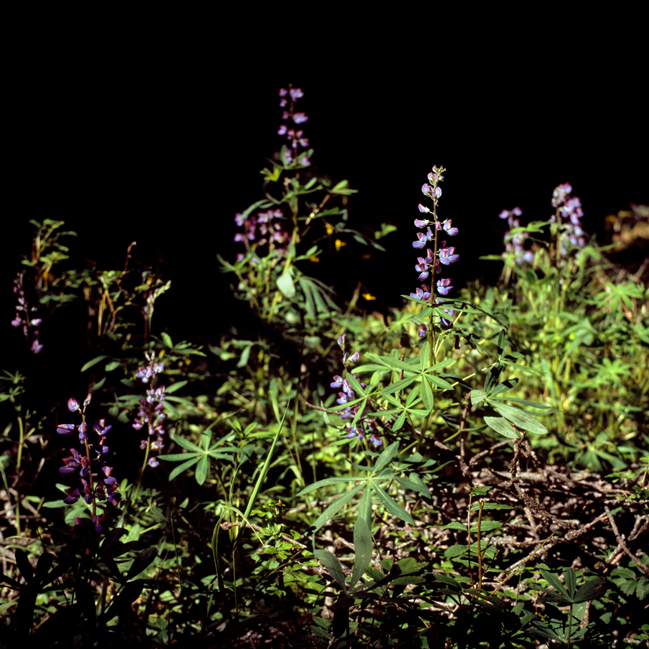 Broadleaf Lupine no. 1