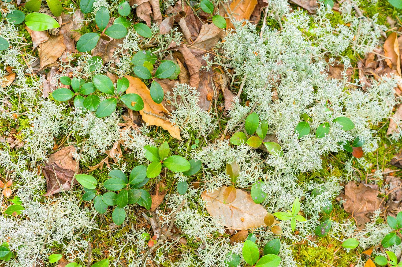 Reindeer Lichen & Wintergreen