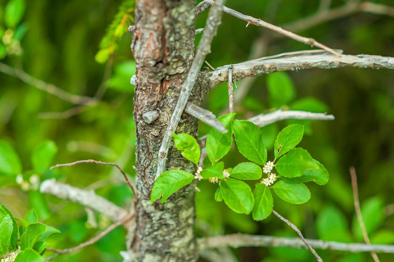 Winterberry Flowers - Pemetic Mountain Trail