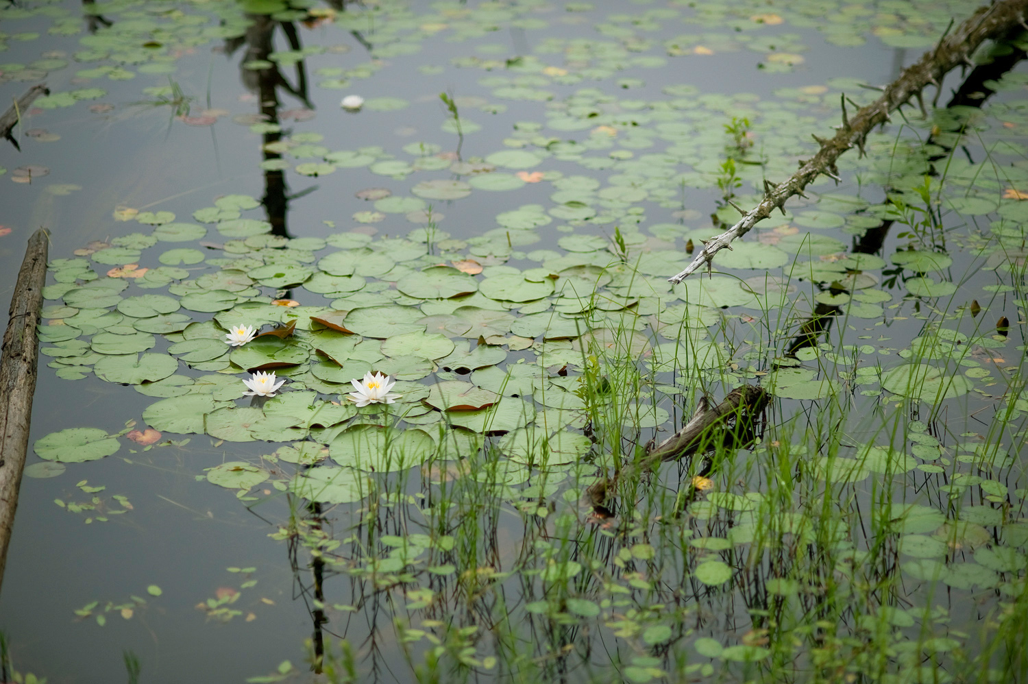 Water Lilies no. 2 - Beaver Ponds