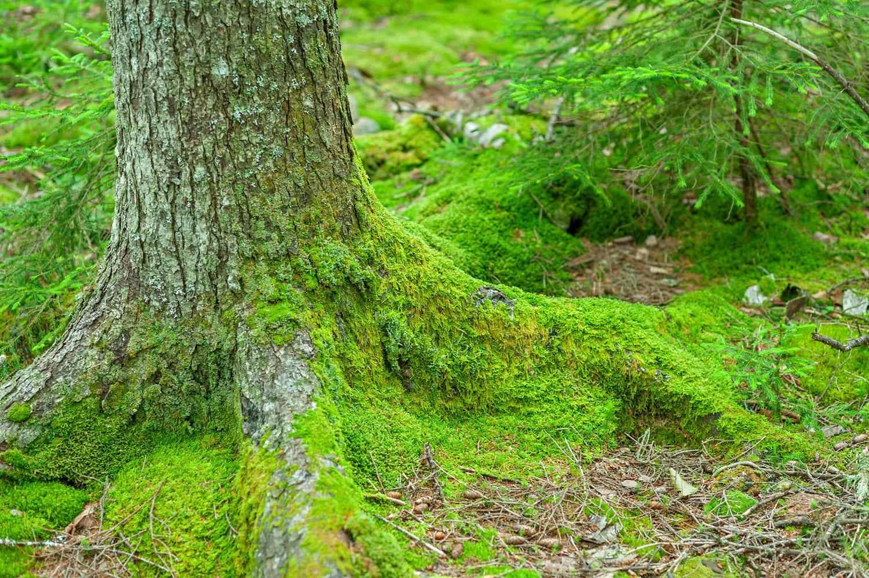 Mossy Black Spruce - Pemetic Southwest Trail