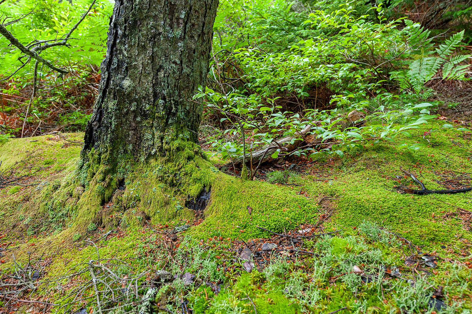 Mossy Trunk - Ship Harbor Trail