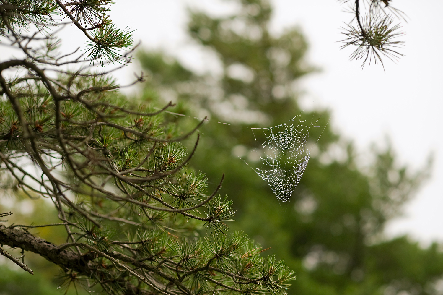 Morning Dew, Suspended - Acadia Mountain Trail