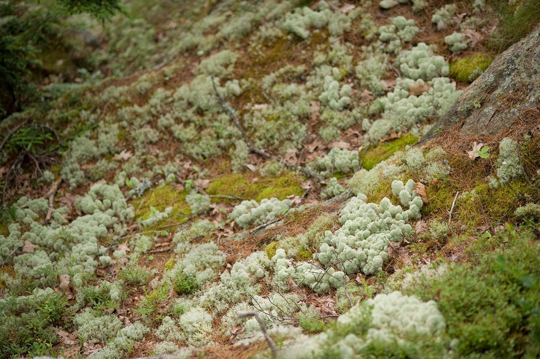 Lichen Field - St Sauveur Trail