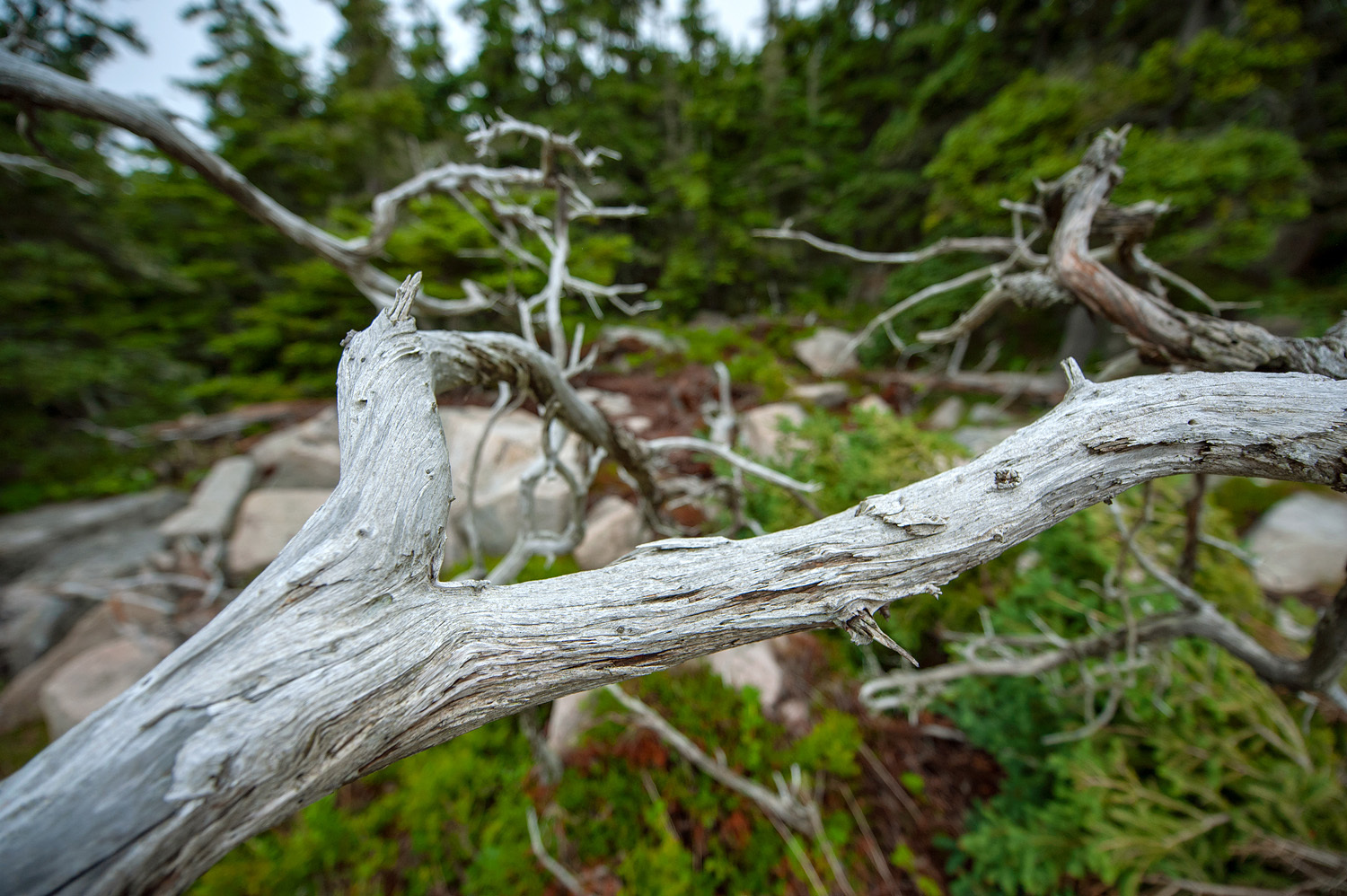 Weathered Branches - Schoodic Peninsula
