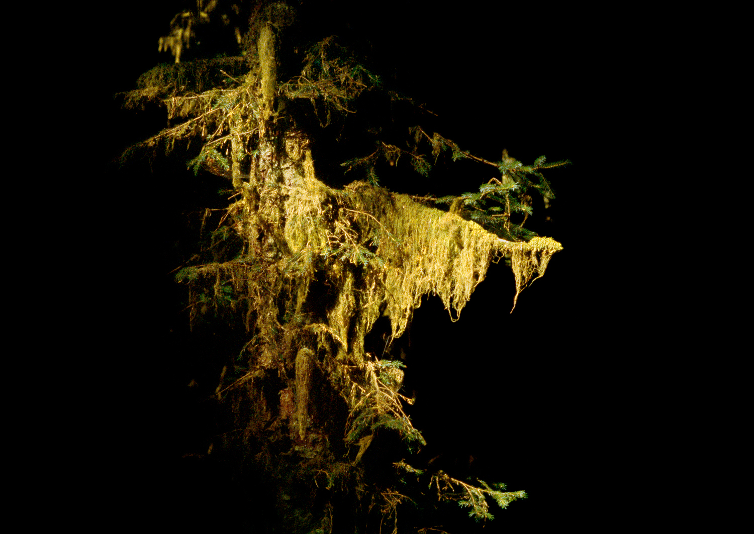 Illuminated Cat-Tail Moss no. 2