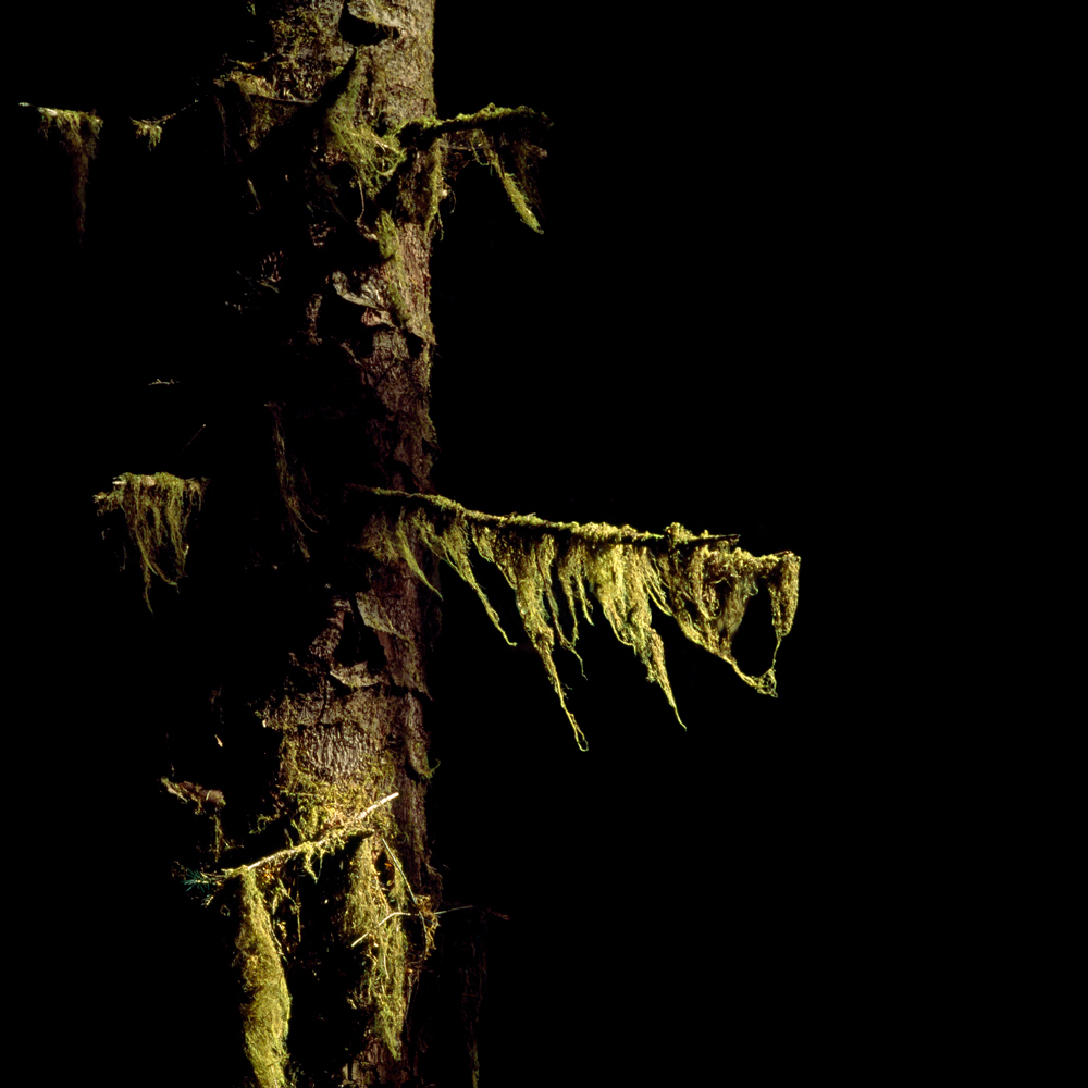 Illuminated Cat-Tail Moss no. 3
