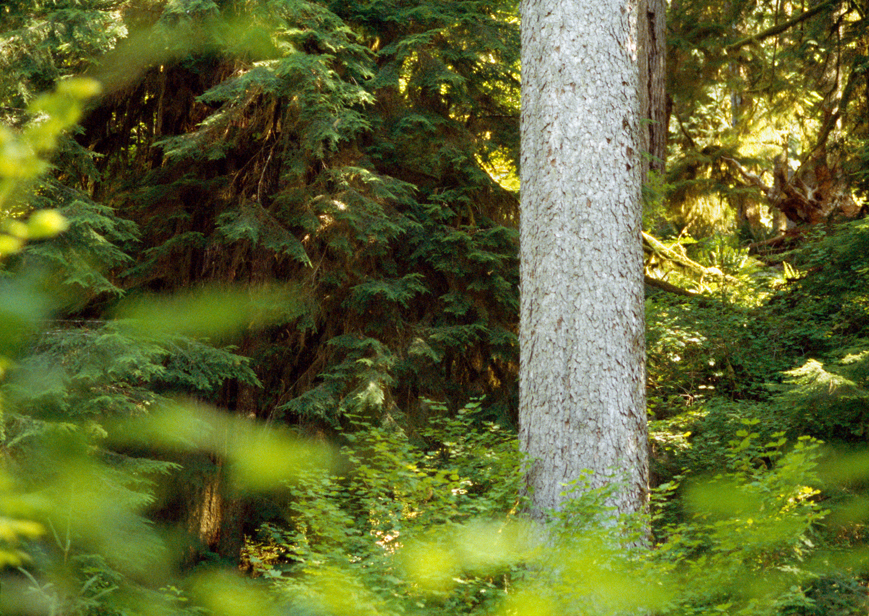 Sitka Spruce no. 1