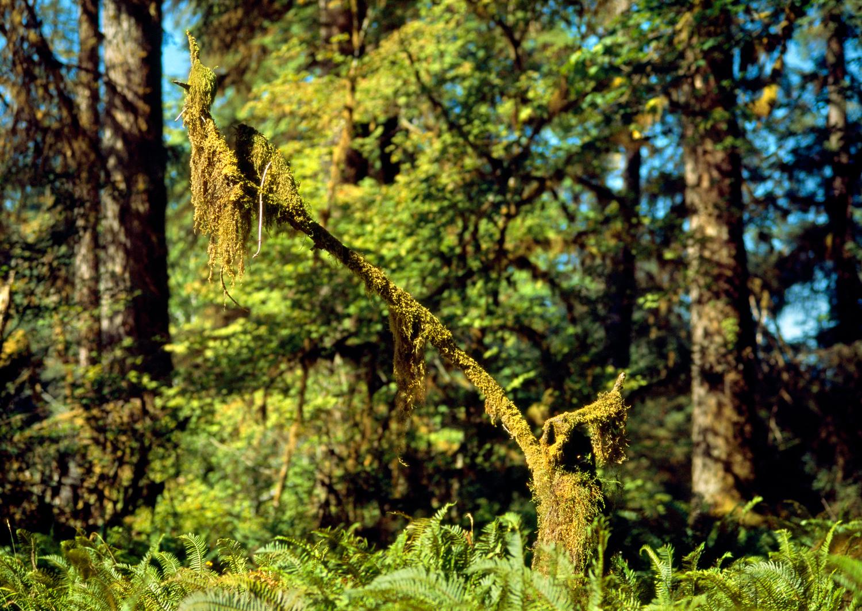 Cat-Tail Moss & Ferns