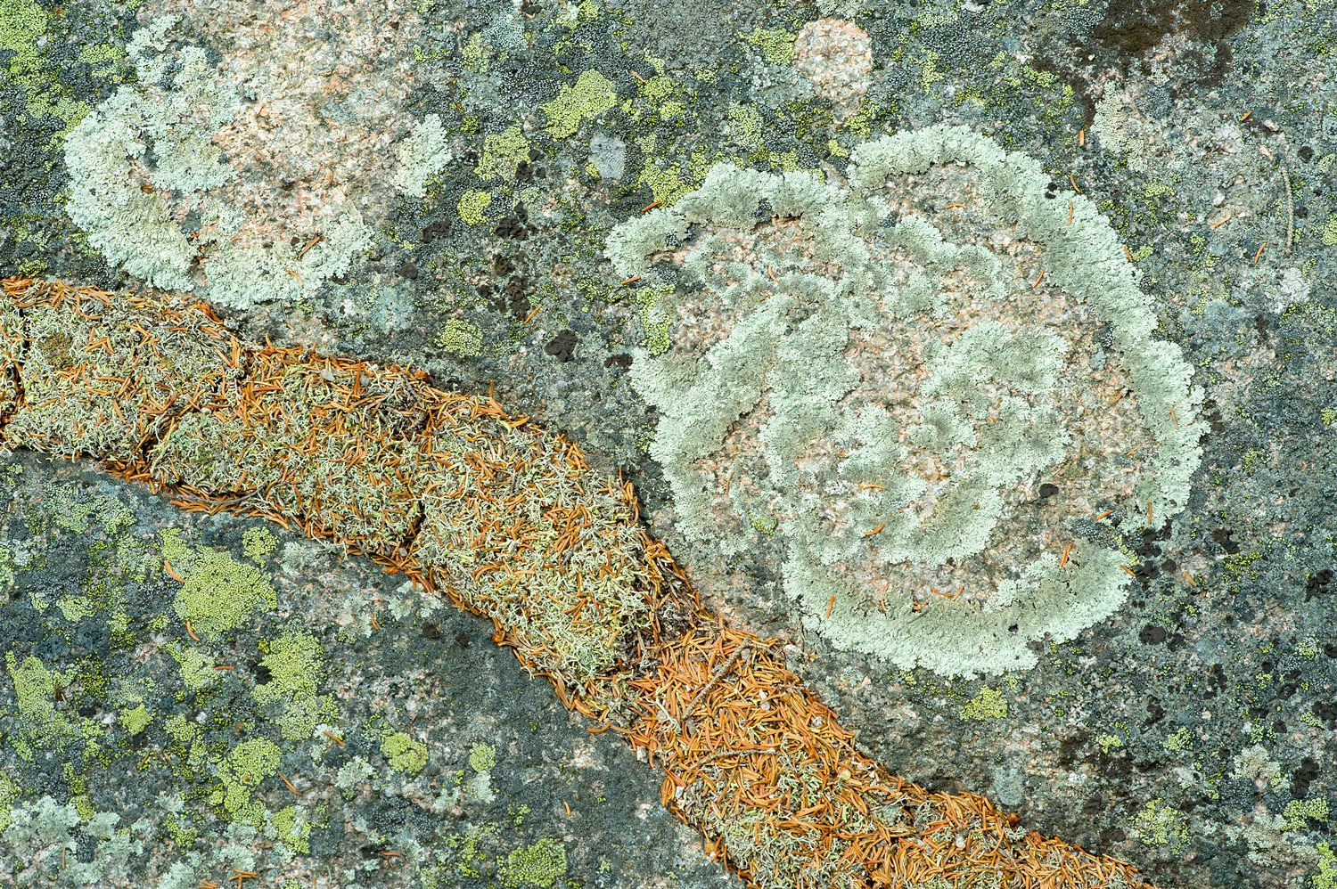 Green Shield Lichen