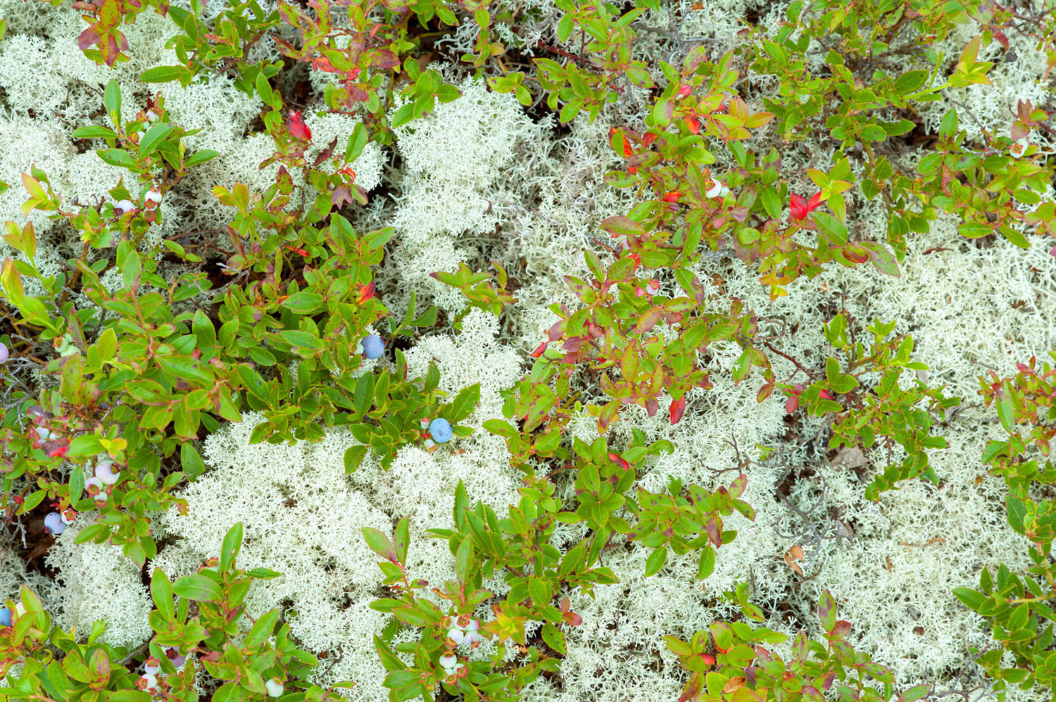 Reindeer Lichen & Wild Blueberries