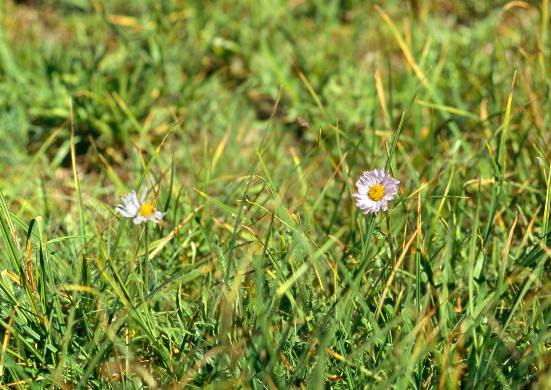 Wandering Daisy no. 1