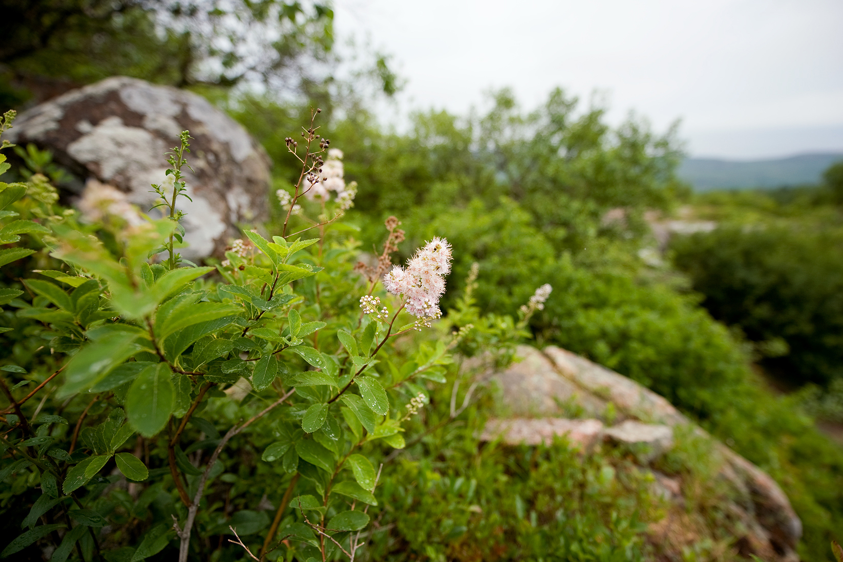 Meadowsweet - Cadillac South Ridge Trail