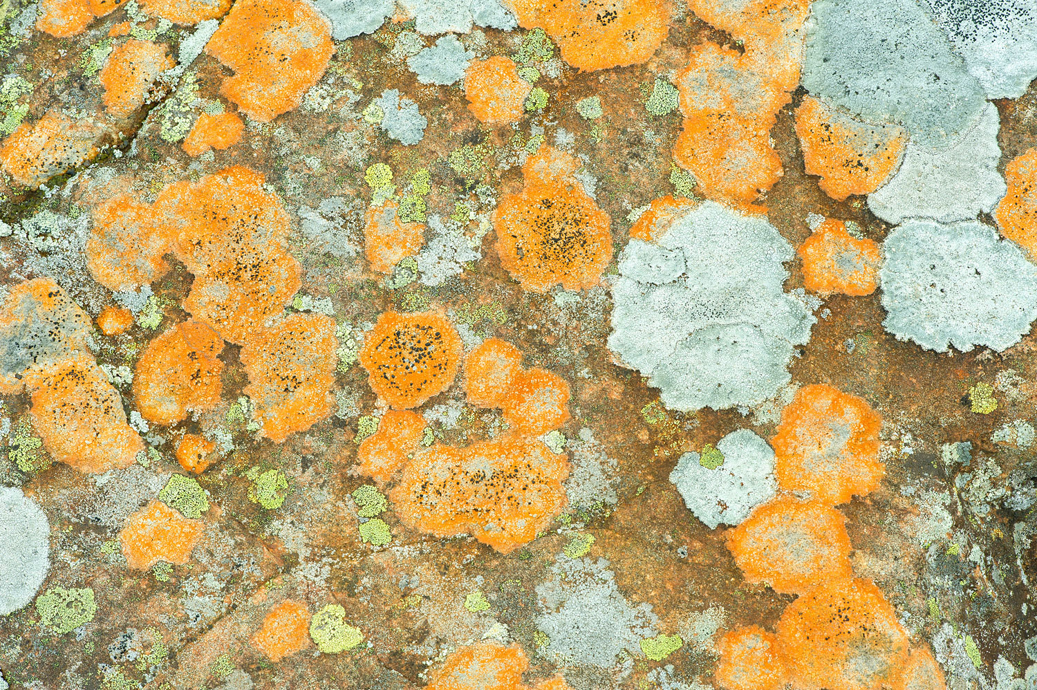 Orange Crustose Lichen