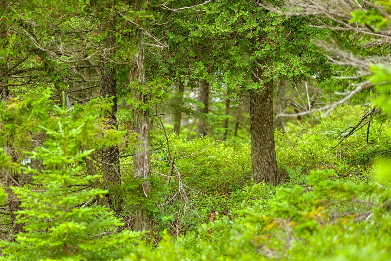 Northern White Cedar - Pemetic Southwest Trail