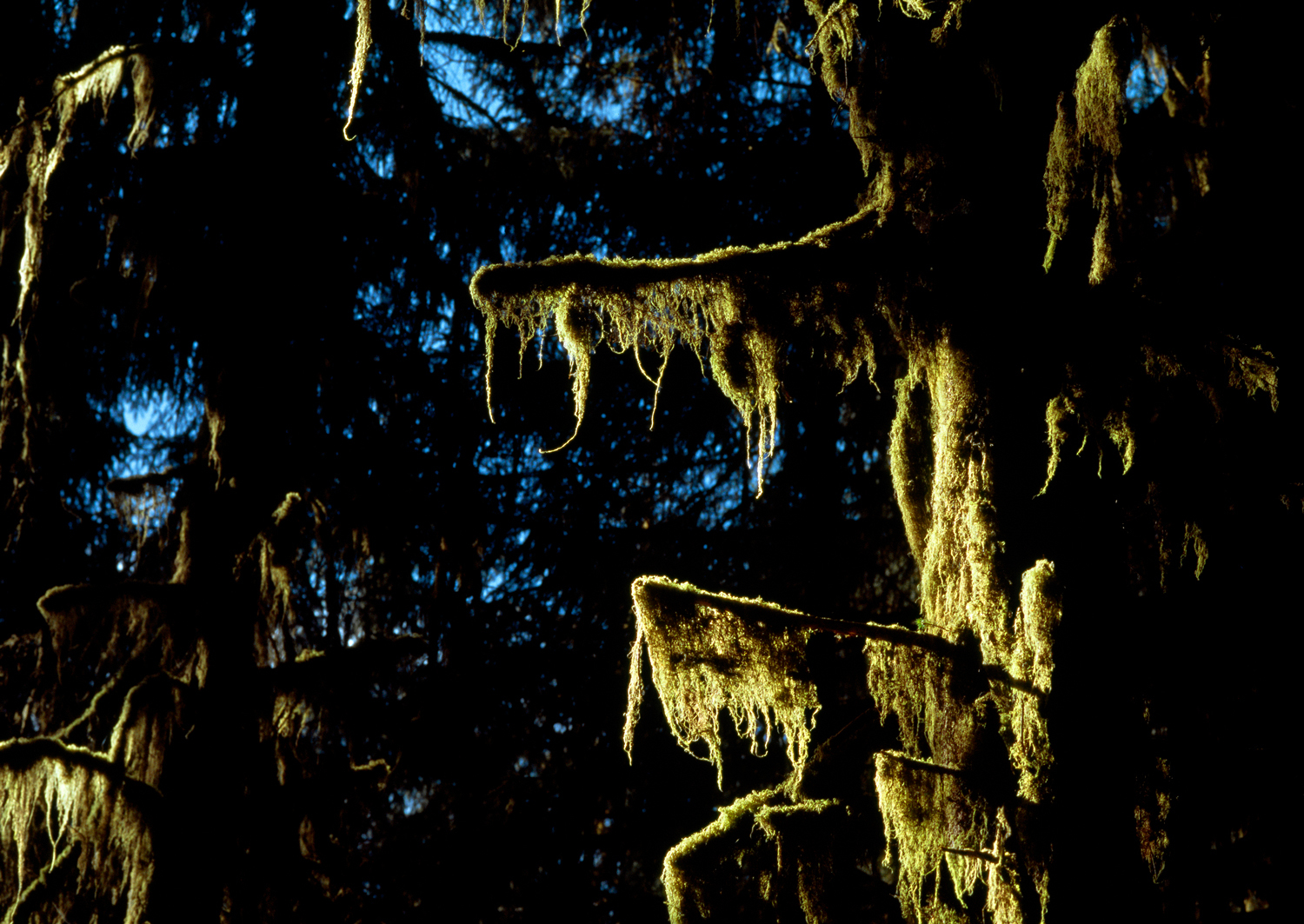 Illuminated Cat-Tail Moss no. 1