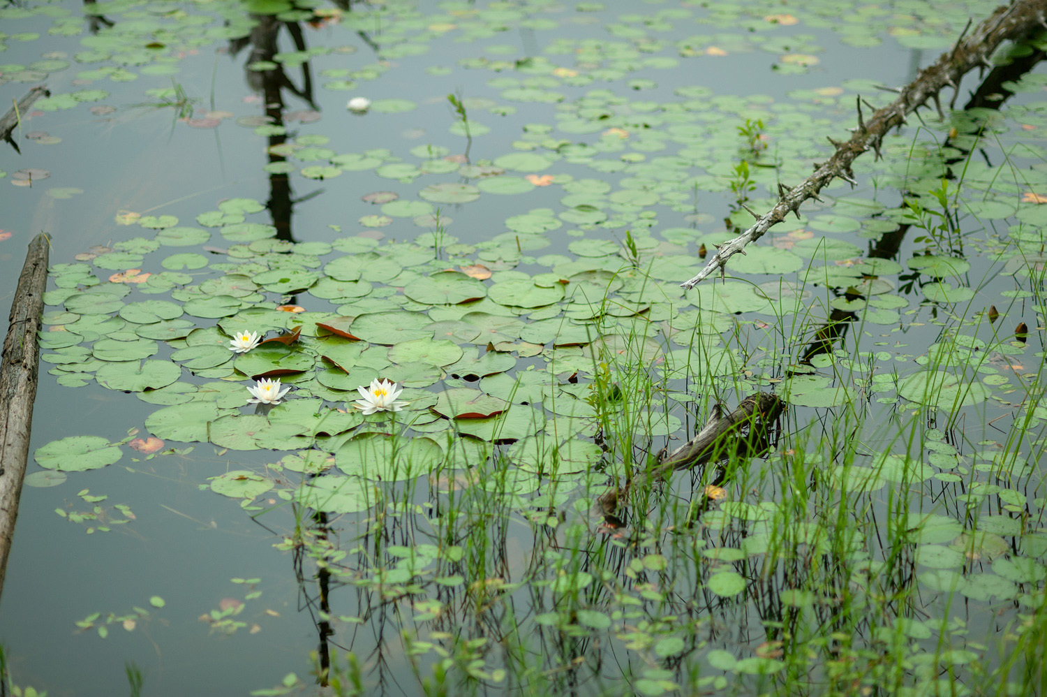 Water Lilies - Beaver Ponds