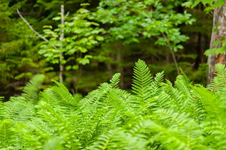 Fern Grove no. 2 - Pemetic Mountain Northwest Trail