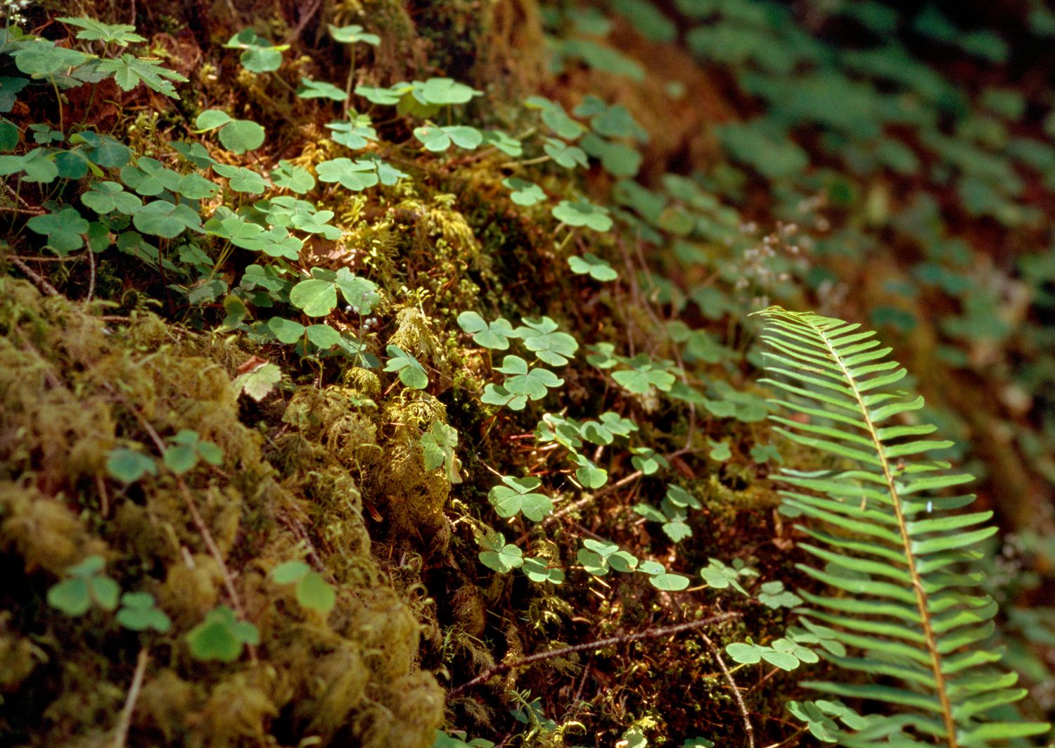 Redwood Sorrel & Sword Fern