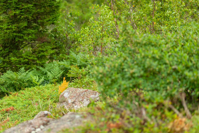 Orange Fern - Cadillac South Ridge Trail