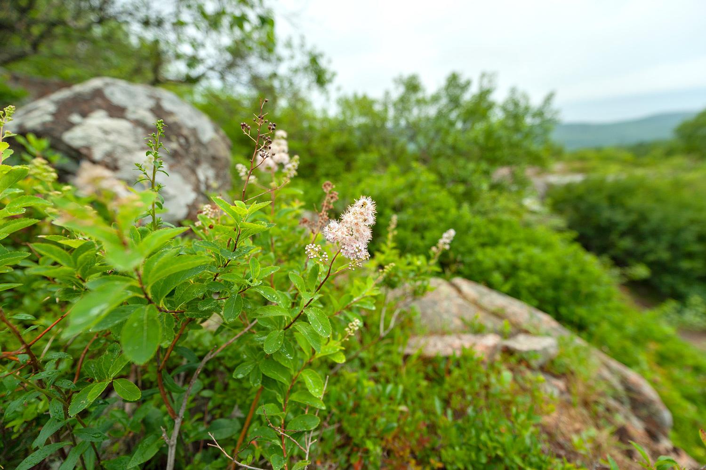 Meadowsweet - Cadillac South Ridge Trail