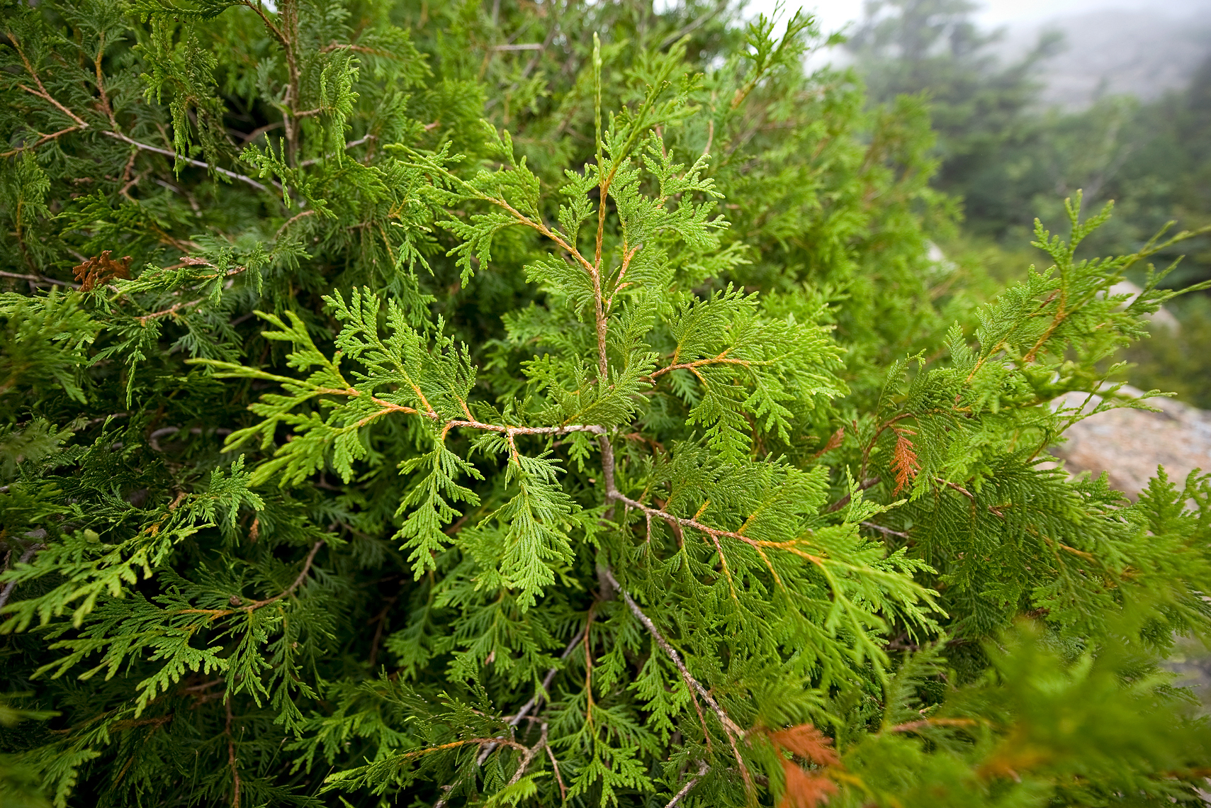 Young Northern White Cedar - Pemetic Mountain Trail