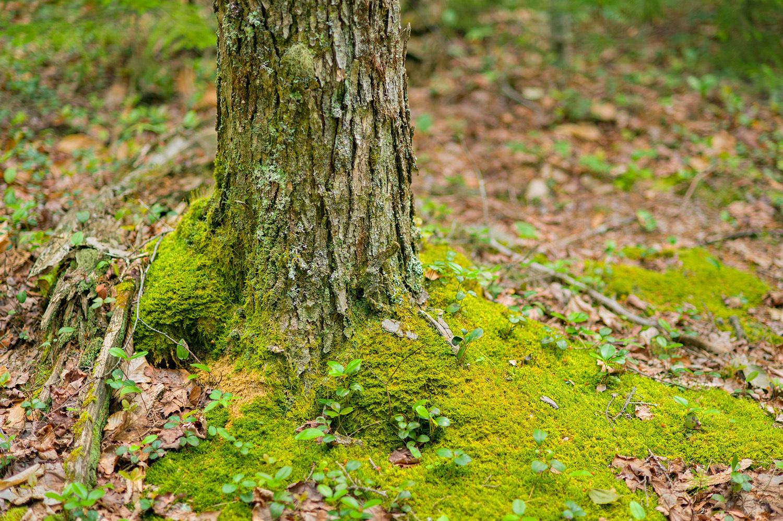 Mossy Black Spruce