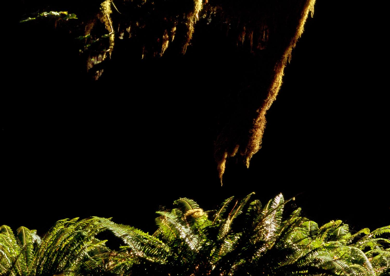Illuminated Sword Ferns