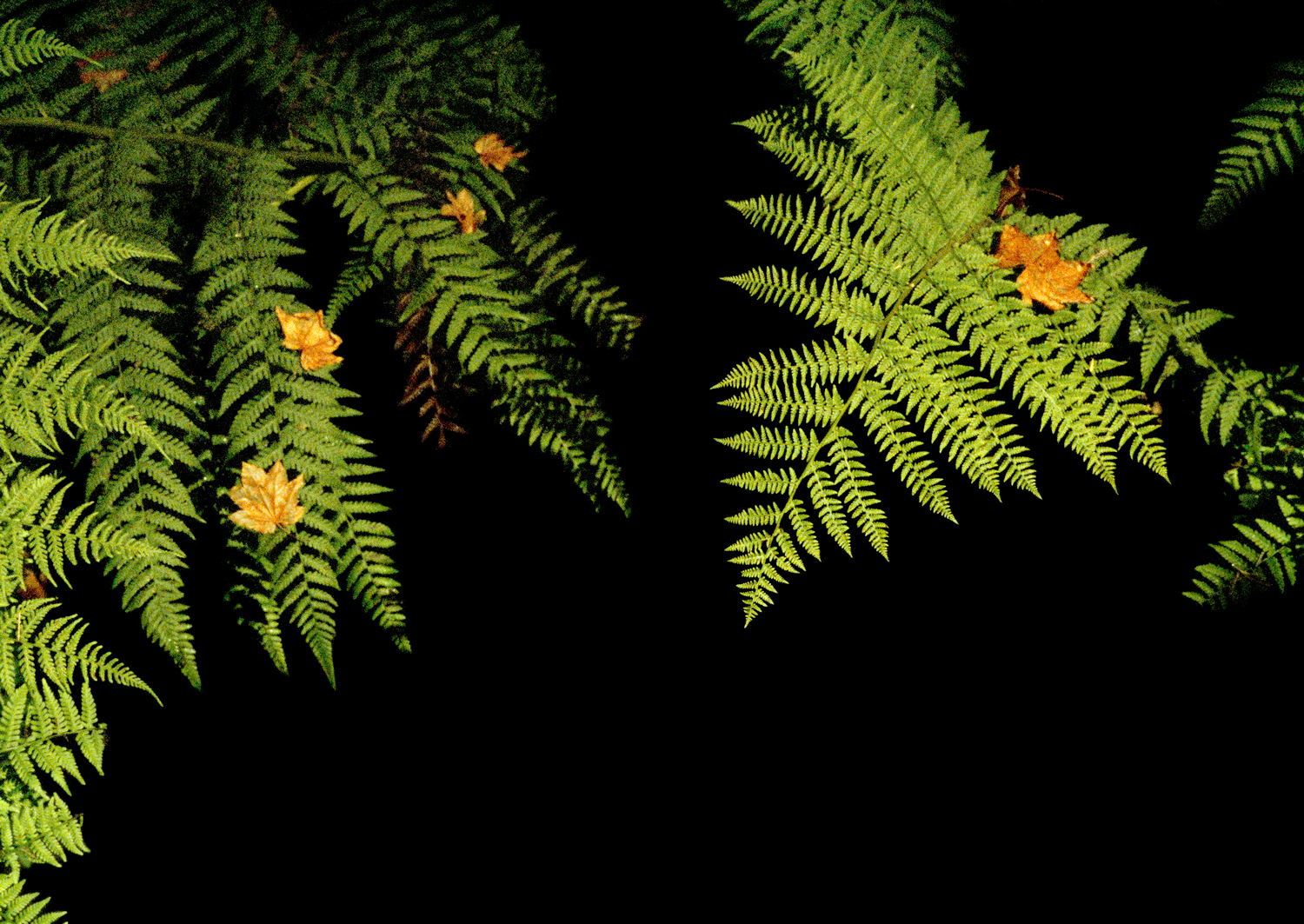Illuminated Lady Ferns