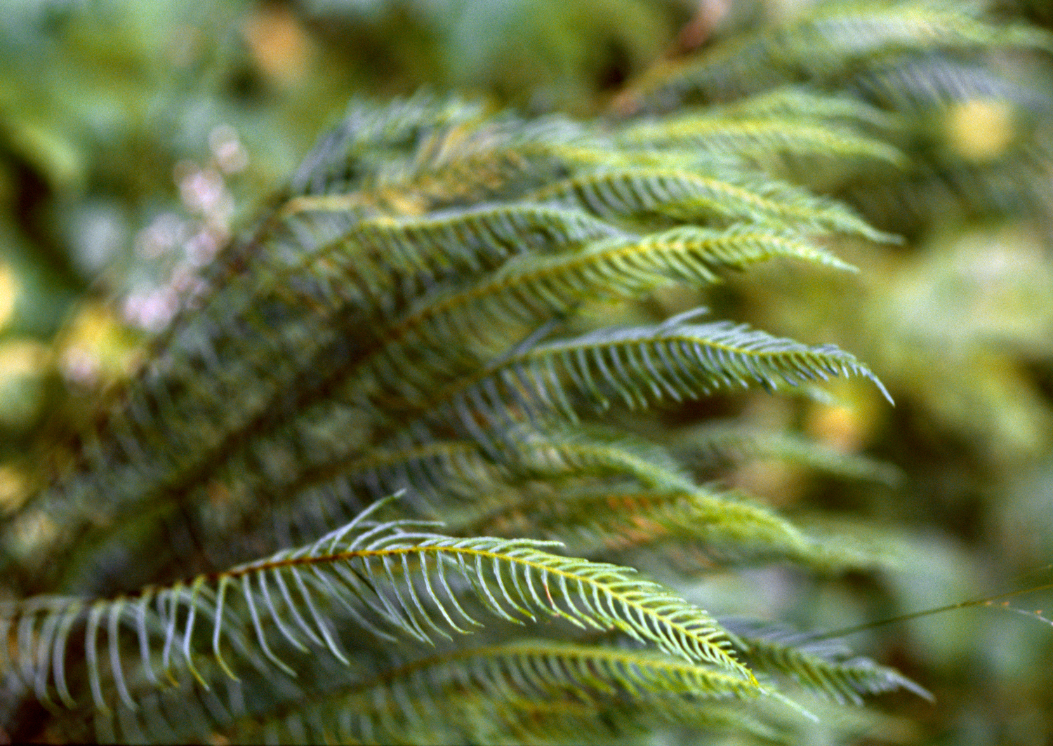 Deer Fern no. 2