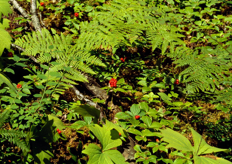 Bunchberries, Vanilla Leaf & Lady Ferns